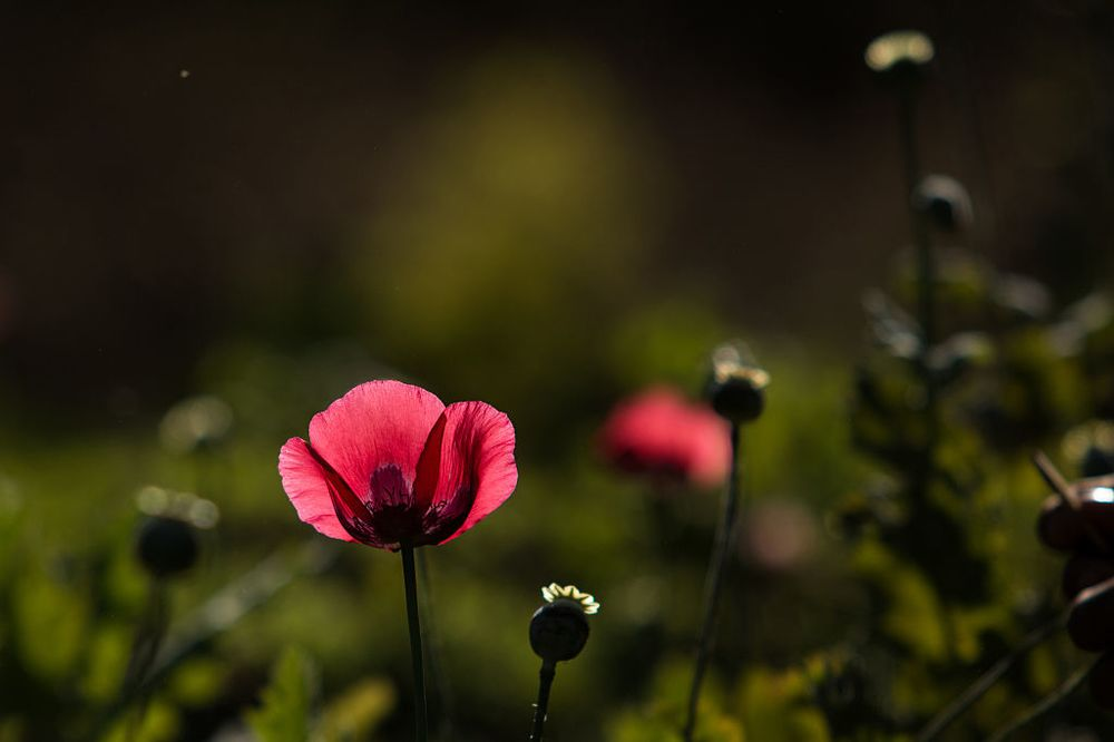 How The Poppy Genome Mutated To Create Opiates Bloomberg