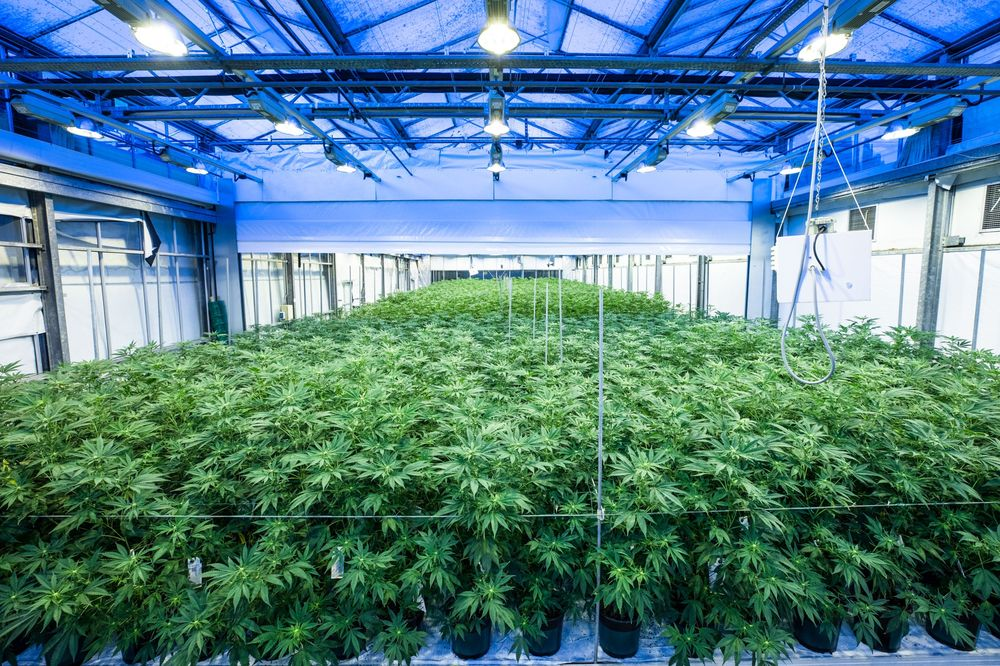 Weed Is Growing Into A Market For This Dutch Lighting