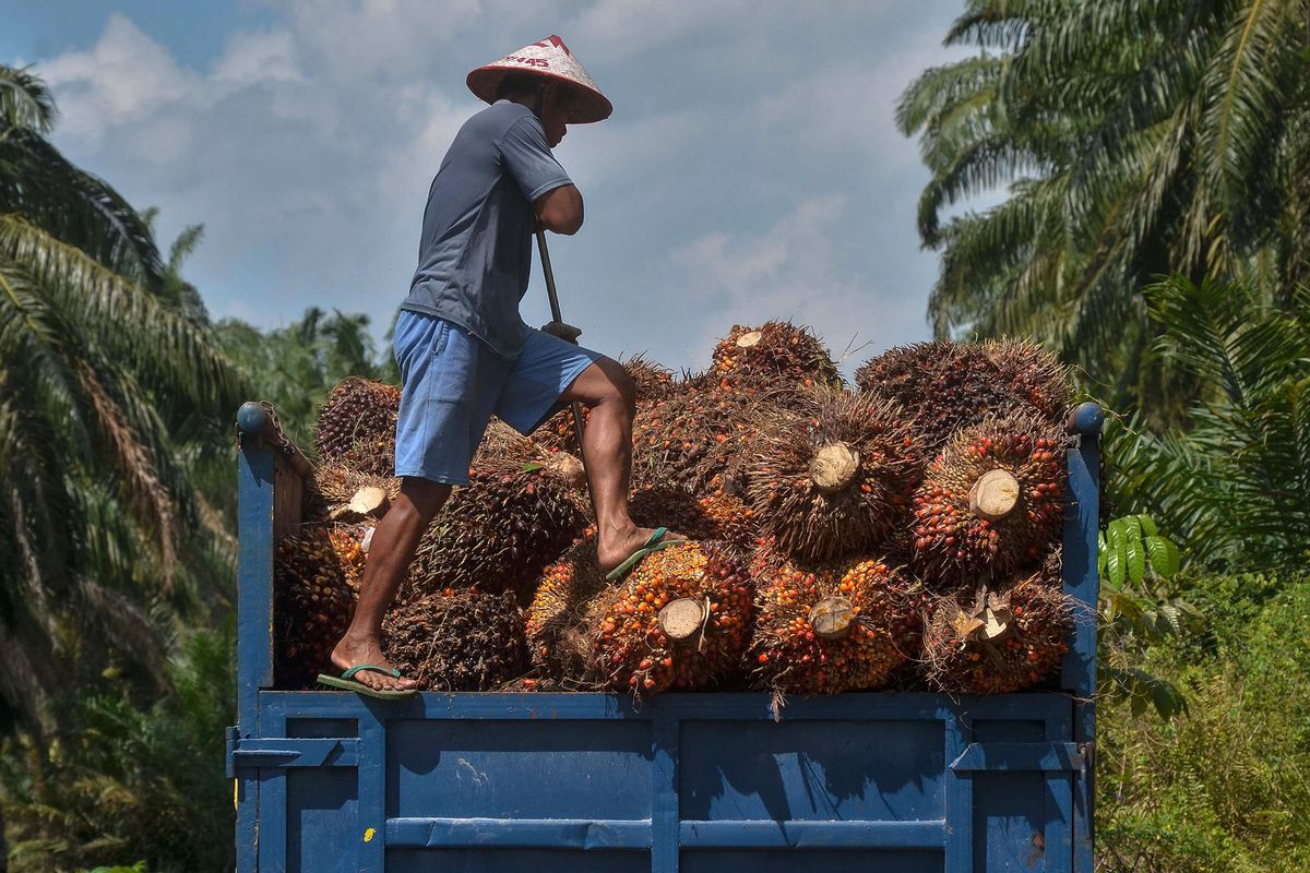 Image Palm Oil Falls as Traders Weigh Prospects for Weakening Demand - Bloomberg