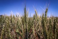 Harvest of Oats and Barley as Australia Expects a Bumper Output of Winter Crops