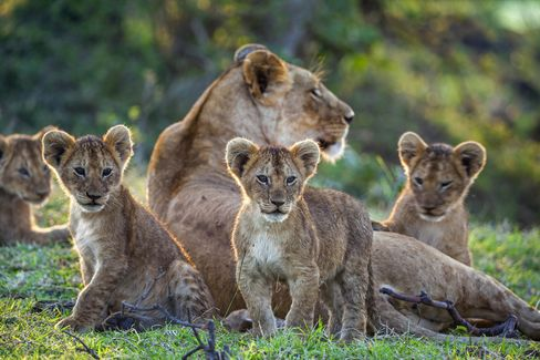Lioness and her cubs on theMasai Mara National Reserve in Kenya.
