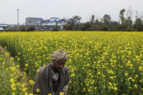A Man Walks Through A Field Of Mustard Flowers