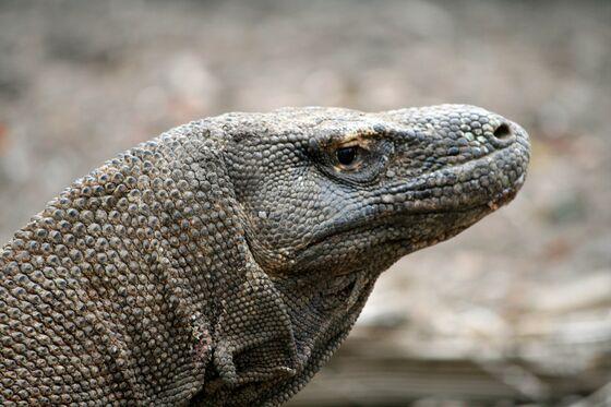Indonesia to Close Island to Prevent Komodo Dragon Smuggling