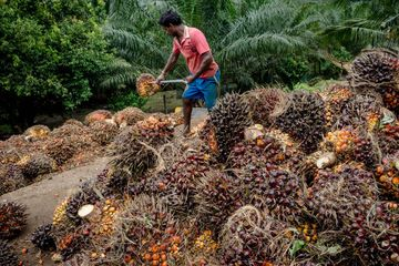 A worker loads palm fruit onto the back of a truck at a palm oil plantation in Bukit Basout Estate, Perak State, Malaysia.