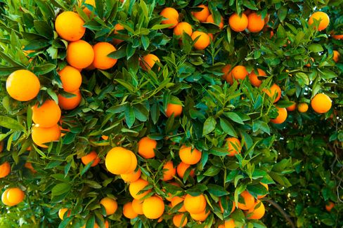 Can Genetically Modifying an Orange With a Spinach Gene Save Florida???s Crop?