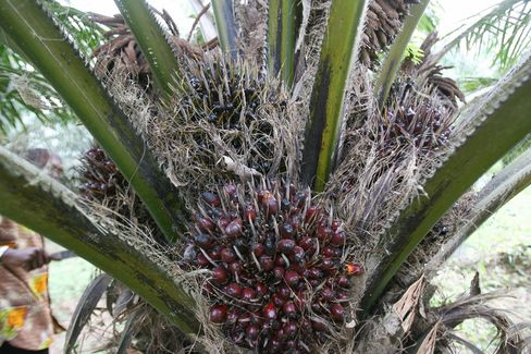 Asian Palm-Oil Planters Head to West Africa to Meet World Demand