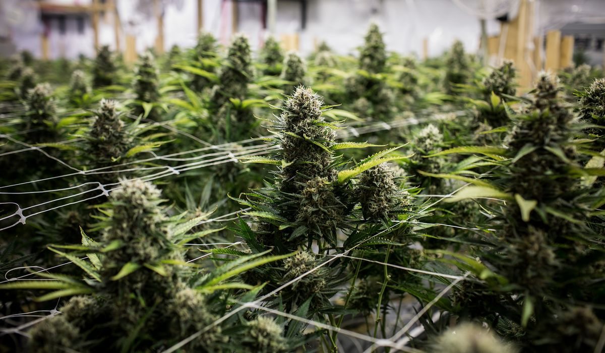 Pot Industry Heads to Davos as Stocks Rebound: Cannabis Weekly