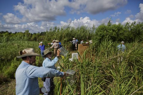 Wasps Released into Carrizo Cane Field