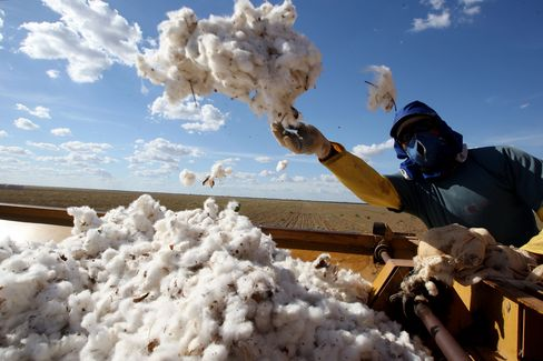 A worker separates harvested cotton