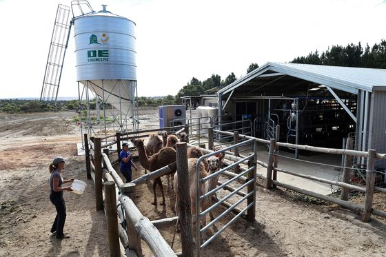 The World Wants More Camel Milk. Australia Can Help