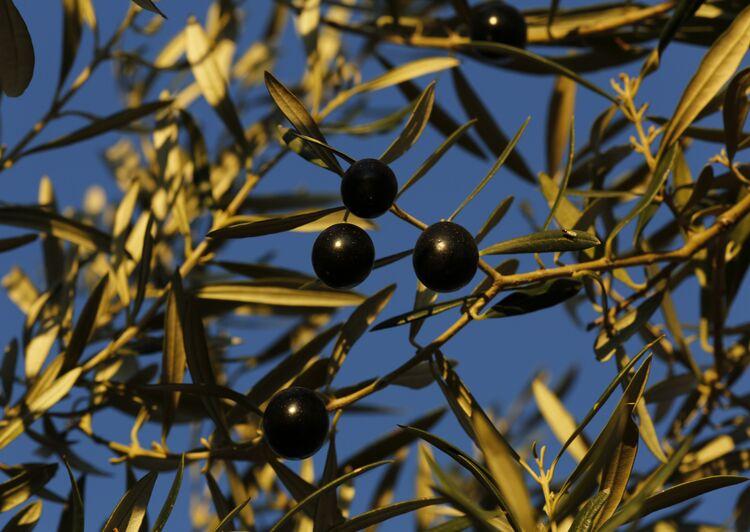 Trump's Tariffs Send Shock Waves Through Spain's Olive Groves
