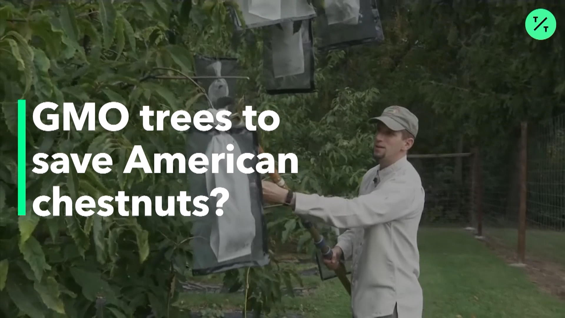 GMO Trees To Save American Chestnuts?