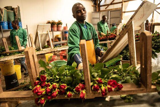 Kenya Destroys Fresh Roses as Virus Crashes Demand in Europe