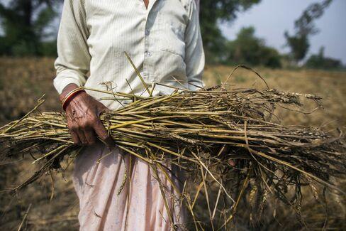 Wheat Production in Uttar Pradesh