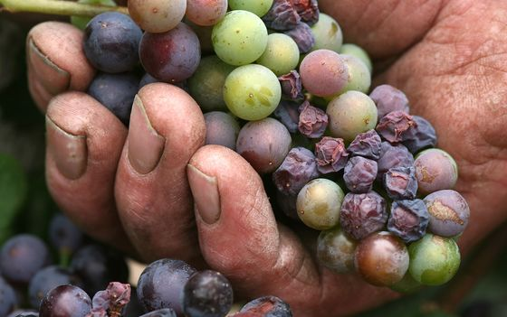 Europe's Wine Makers Battleto Adapt to Climate Disruption