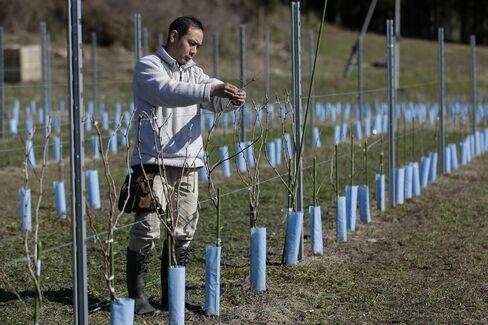 Chikafusa Mohri nspects grapevine at Akiu Winery's vineyard in Sendai, Miyagi Prefecture.