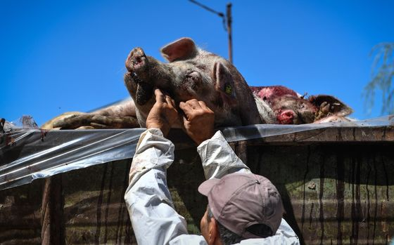 The Deadly African Virus That's Killing China'sPigs