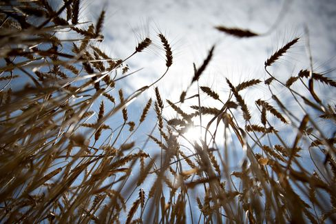 Wheat May Take Over From Corn as Grain Market Driver, FAO Says