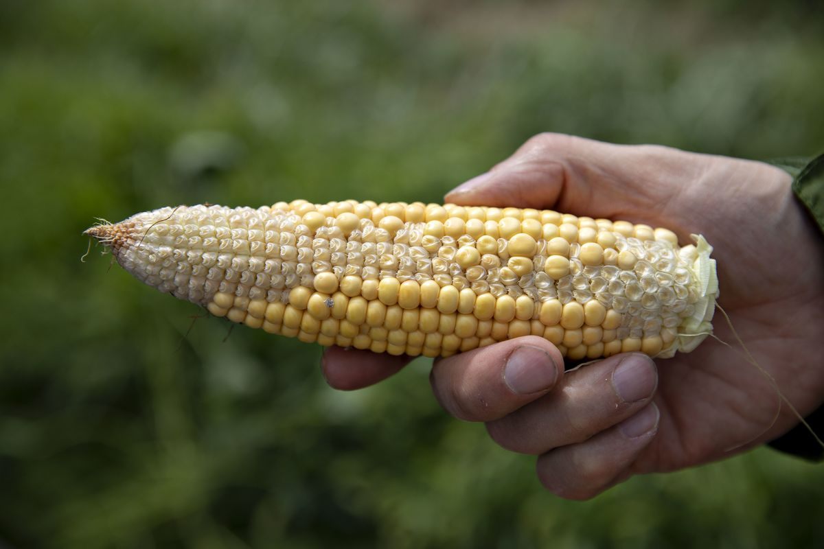 Crop Tour Vindicates USDA's Corn Outlook in Year of Crazy Weather