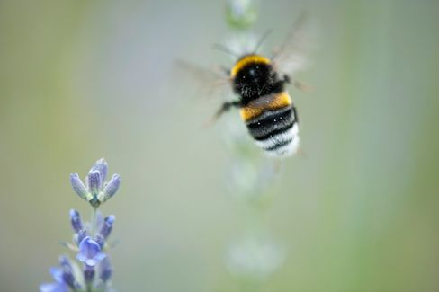 To Revive Honey Bees, Europe Proposes a Pesticide Ban