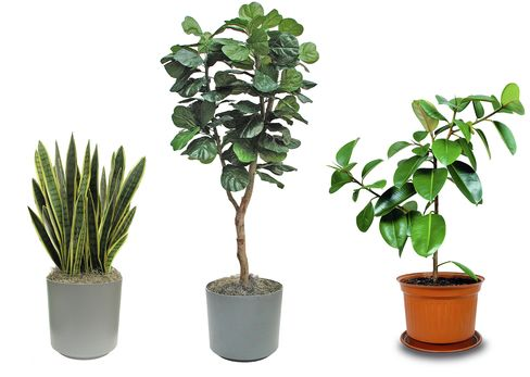 Vintage Greens: (from left) snake tongue, fiddle leaf fig, and rubber tree houseplants