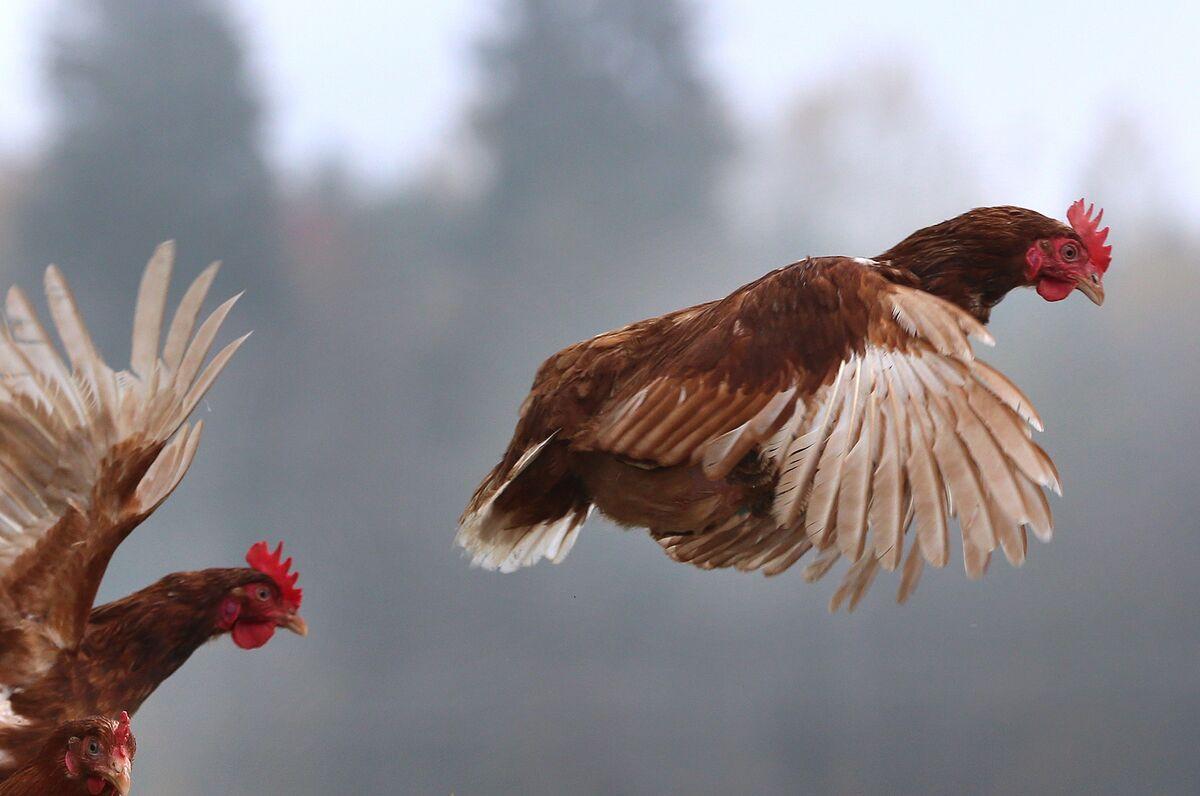 Картинка летящая курица