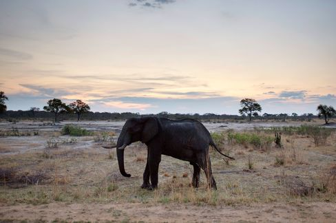 The elephants, which can eat 136 kilograms (300 pounds) of food each a day, have been accused of destroying vegetation in the Hwange national park and damaging the crops and livelihoods of neighboring communities.