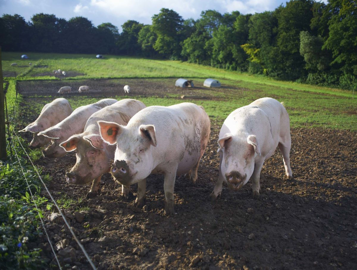 Why It's Difficult to Find Organic Pork - Bloomberg