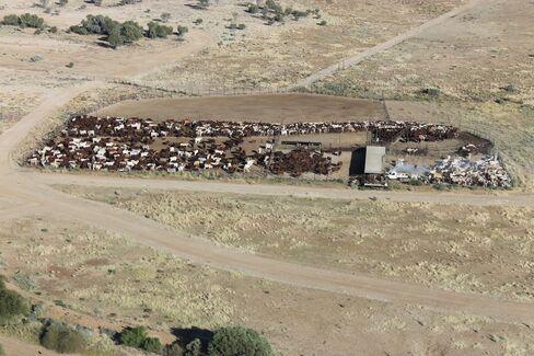 Cattle yard at Durham Downs