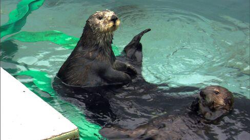 'Saving Otter 501'