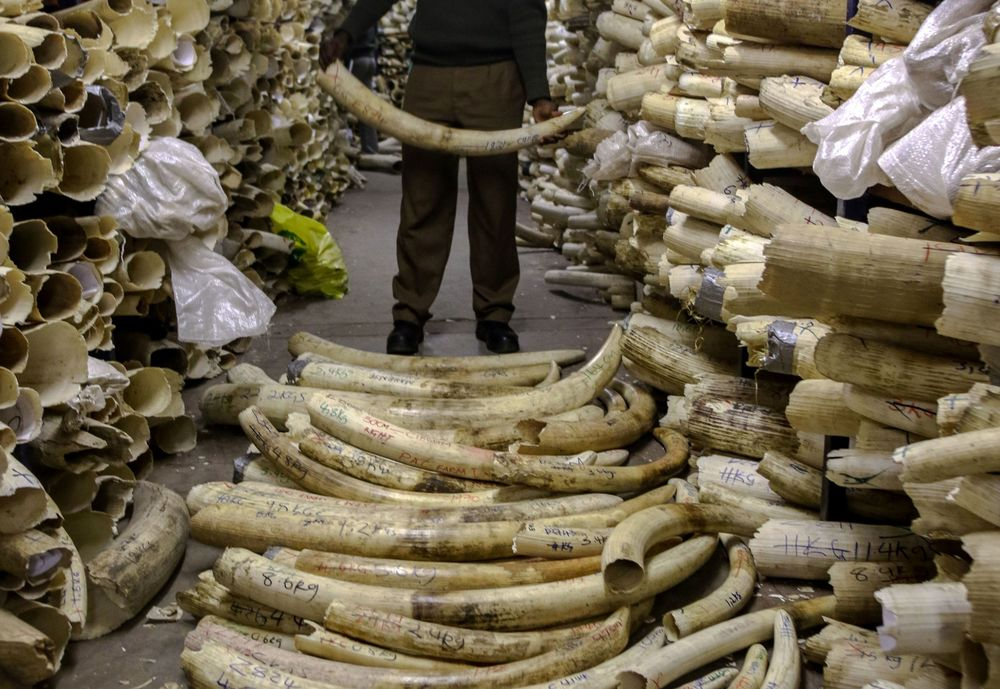 A Zimbabwe National Parks game ranger holds an elephant ivory tusk in the country's ivory vault in Harare, on June 2, 2016.