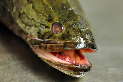 The snakehead: Eat it before it eats you!