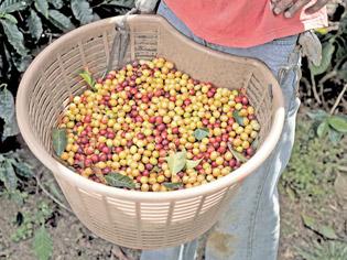Freshly picked beans at Bella Vista farm near San José