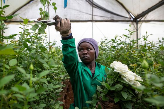 Lockdown Easing in Europe Revives Kenyan Flower Industry