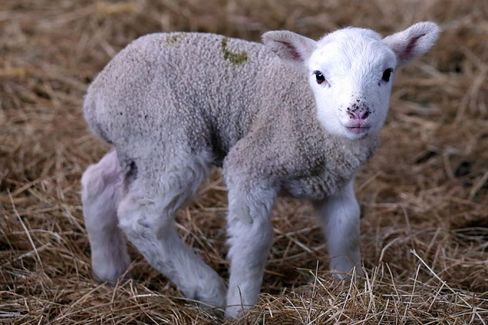 Before and After Easter, Americans Lose Their Taste for Lamb