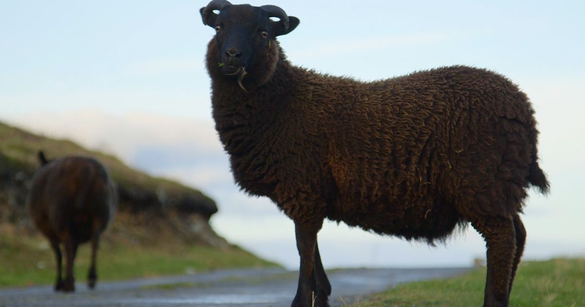 The World's Softest Wool Comes From This Remote Isle – Bloomberg