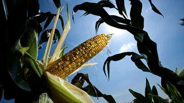 An ear of corn pealed open for examination on a farm near Farley, Iowa, in August 2007.