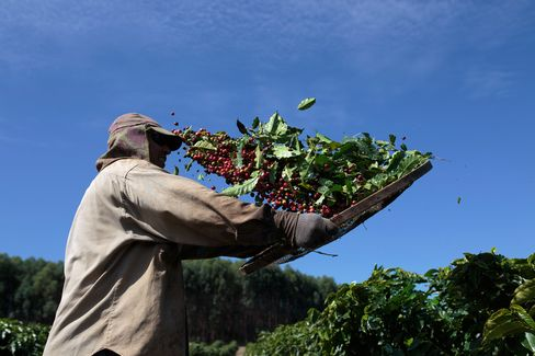 Brazilian Coffee Harvest As Exports Fell in June