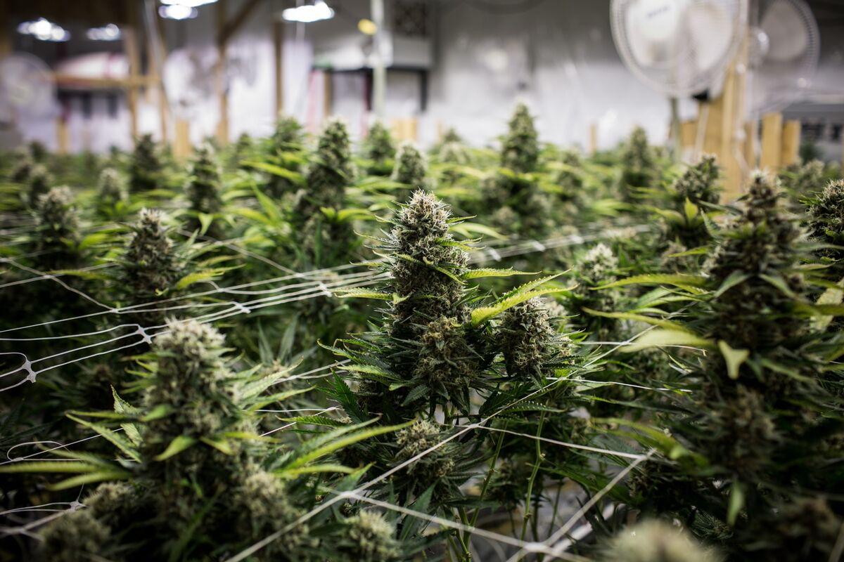 Goldman Alumnus Jumps Into Cannabis Debt Financing
