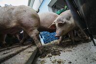 Swine Fever Threatens Europe's Biggest Pork Producer
