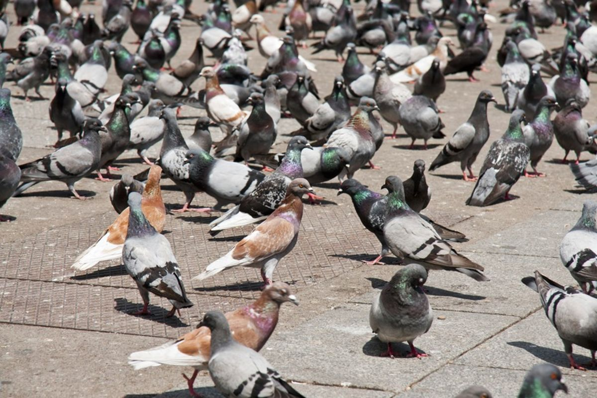Why Aren't Cities Littered With Dead Pigeons? - Bloomberg