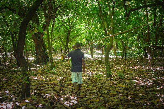 Chocolatier Protecting Madagascar's Lemurs Eyes Carbon Credits