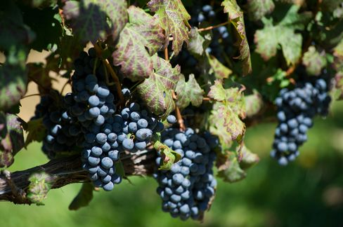 Red Wine Compound Activates Gene Responsible for Healthy Cells