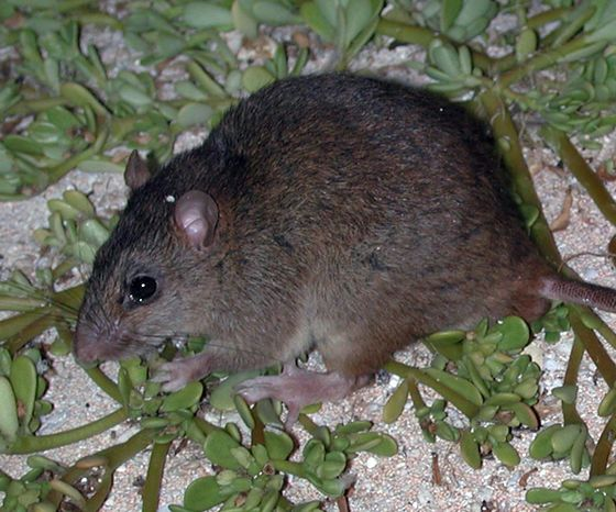 Man-Made Climate Change Causes Its First Mammal Extinction