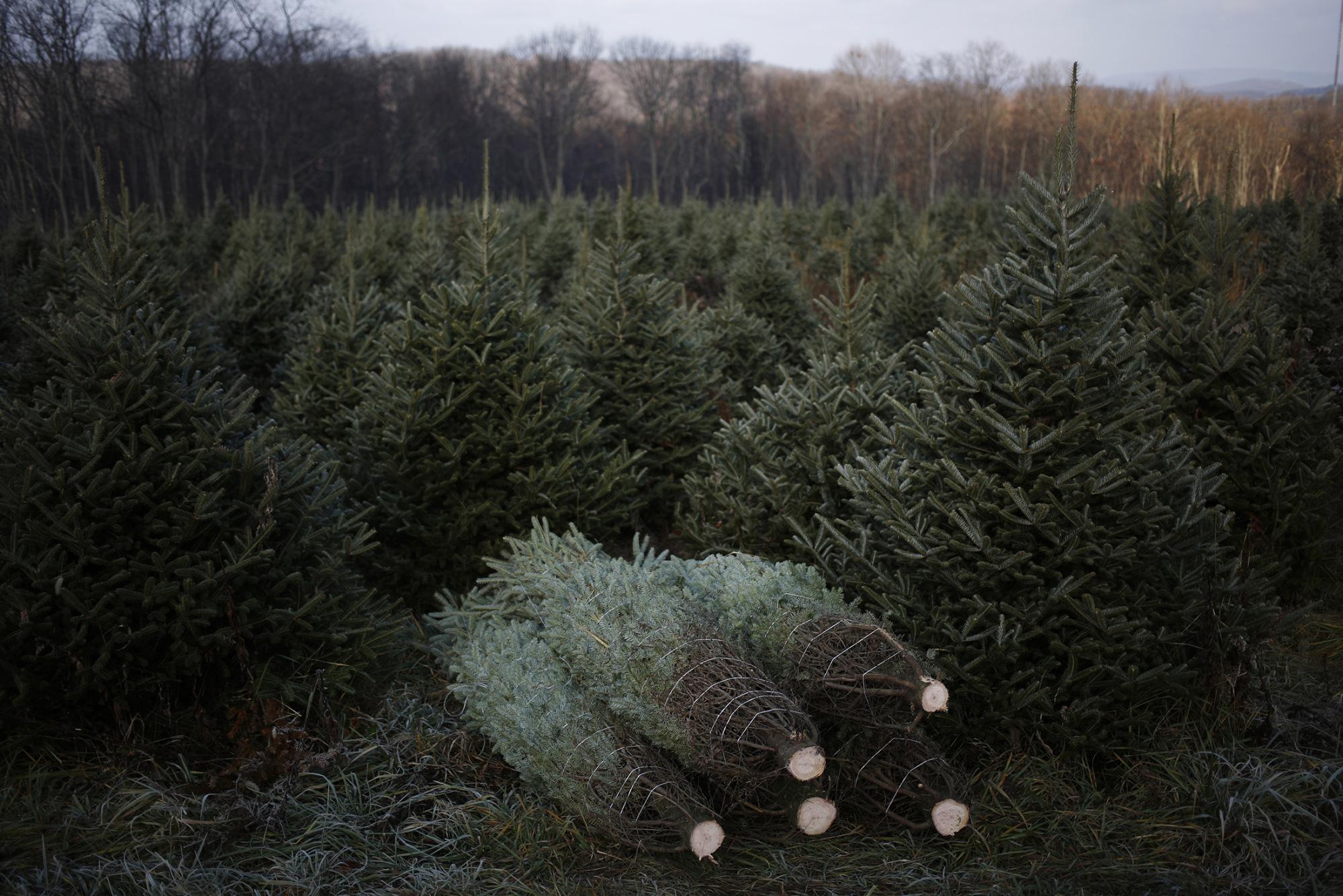 O christmas tree where do you come from bloomberg for Where did christmas trees originate from