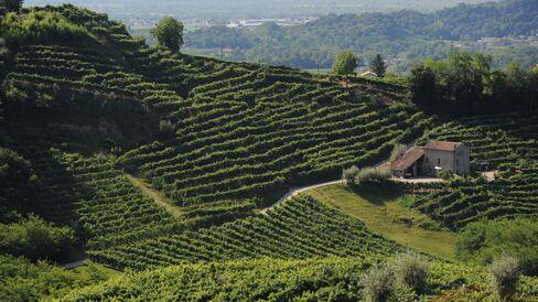 Valdobbiadene Prosecco vineyard.