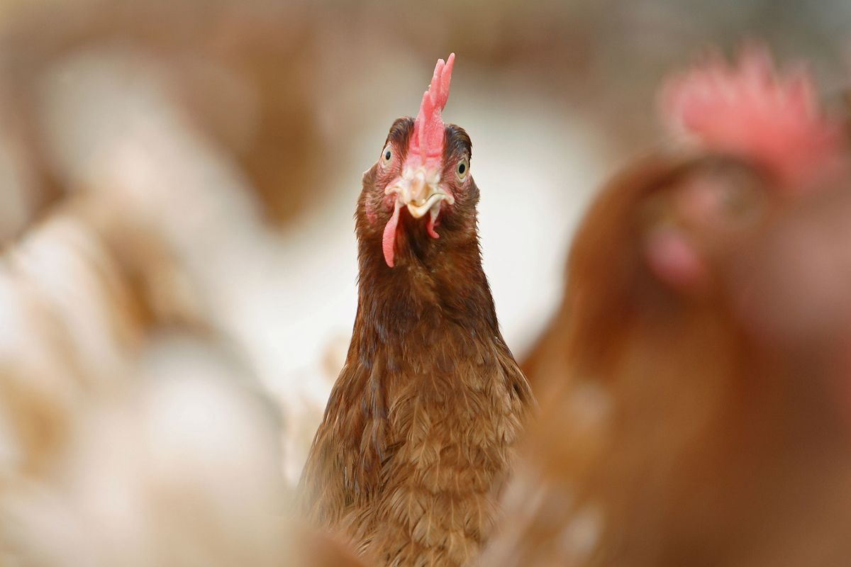 There Could Be Ketamine In Your 'Natural' Chicken