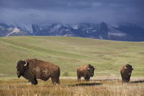 American Bison on a prairie in western Montana.
