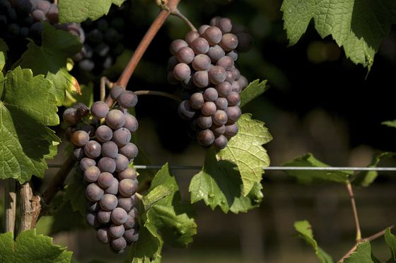 Wine Made Easy: NinePinot Grigios Actually Worth Drinking