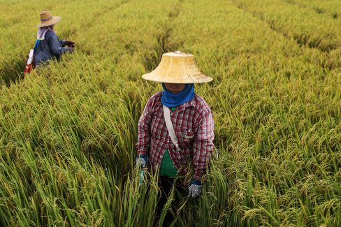 Harvest And Production As Rice Crop Affected By Drought